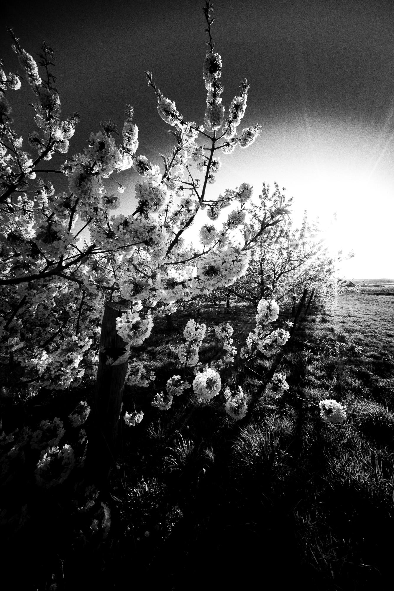 Kirschblüte, Freinsheim