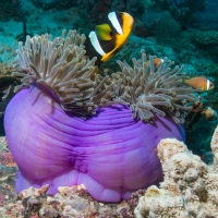 Clownfish & Magnificent Anemone