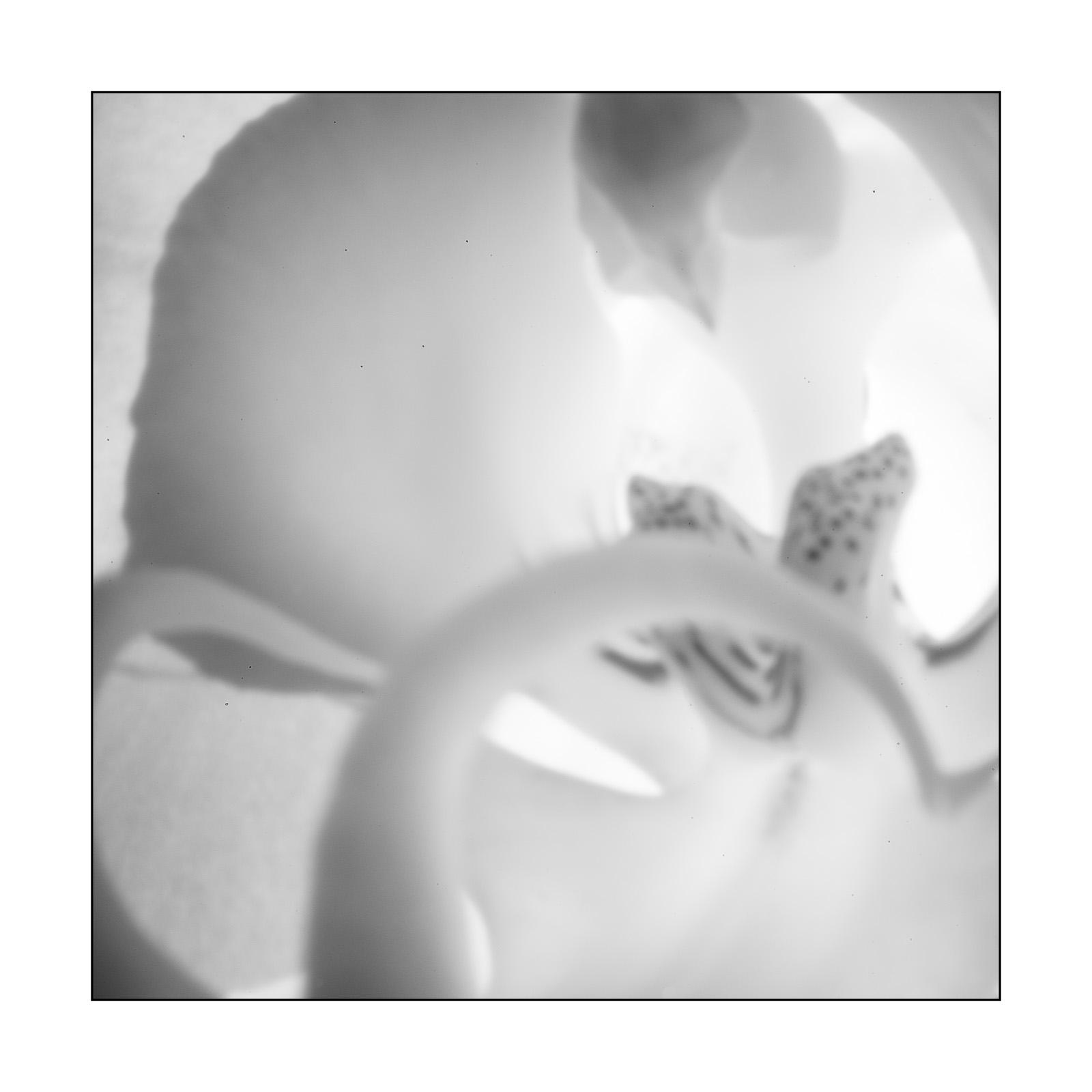 Pinhole Orchid
