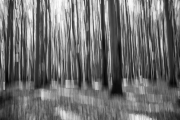 Rotbuchenwald auf Rügen